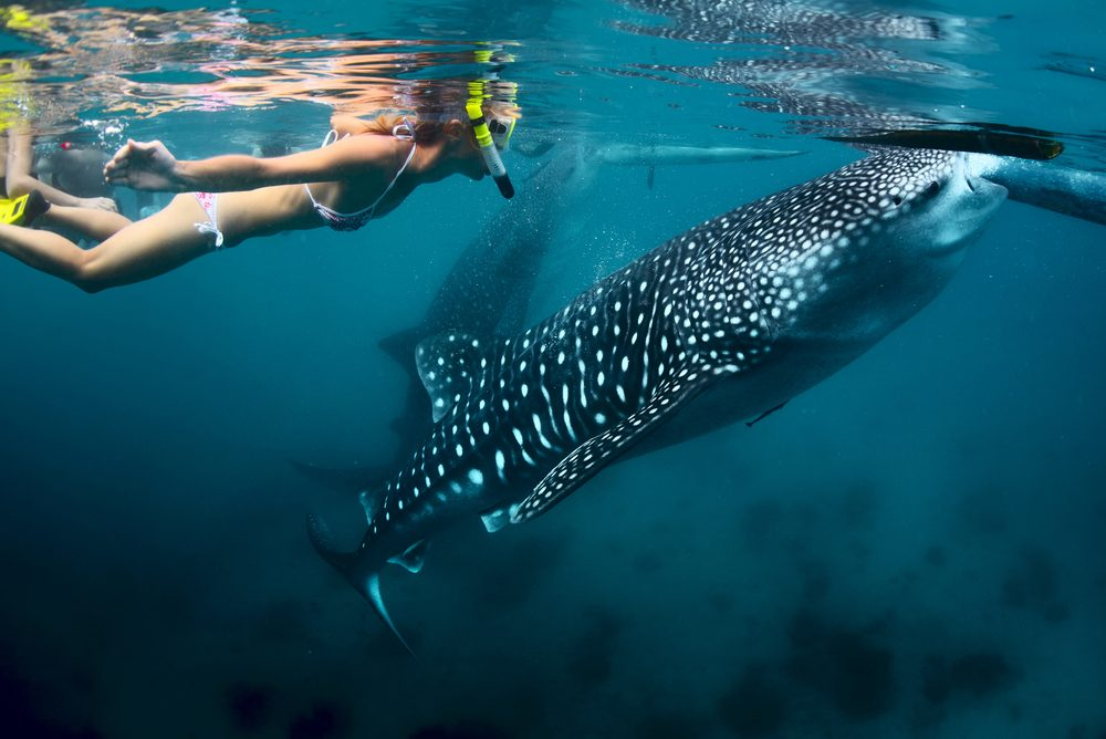 quick guide to the philippines swimming with whale sharks